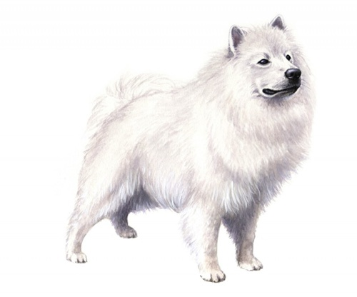 American eskimo dog set