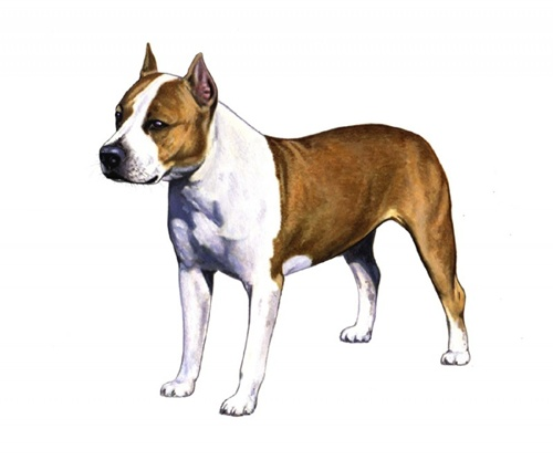 American Staffordshire Terrier set