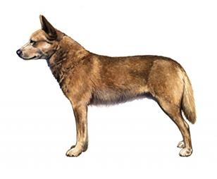 Australian pea tale cattle dog set