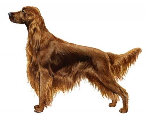 Irish setter set