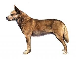 Australian pea tale cattle dog