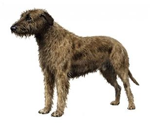 Irish wolfhound set