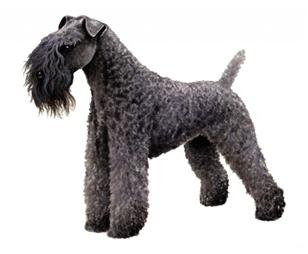 kerry blu terrier