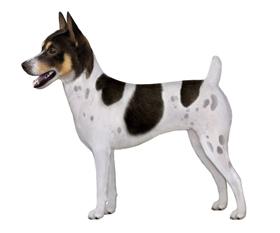 Tenter Field Terrier