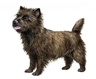 cairn terrier set