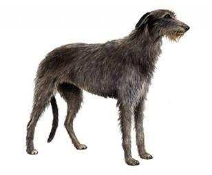 scottish deerhound set