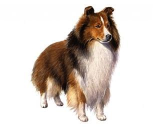 shetland sheepdog set