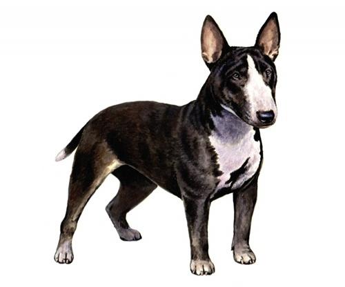 Bull Terrier mini set