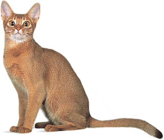 Abyssinian set