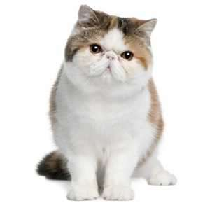 Exotic Shorthair set