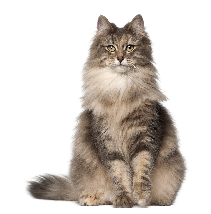Norwegian Forest Cat set