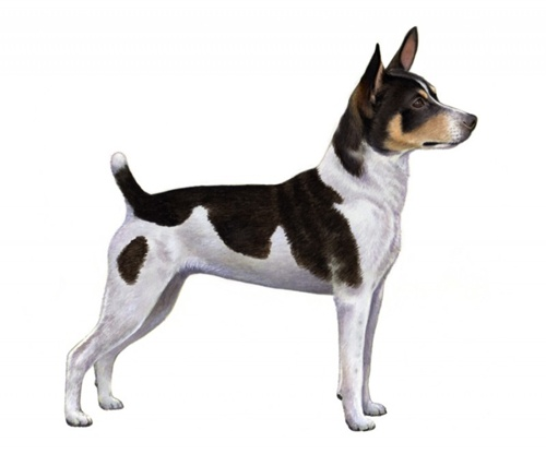 Rat Terrier set