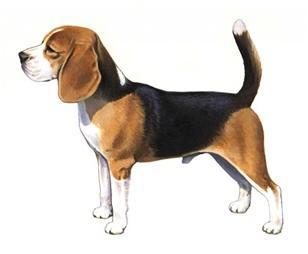 beagle set