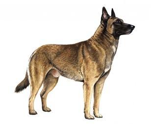 belgian malinois set