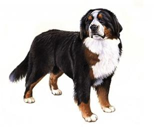 bernese mountian dog set
