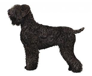 black russian terrier set