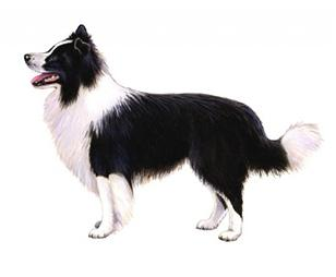 border collie set