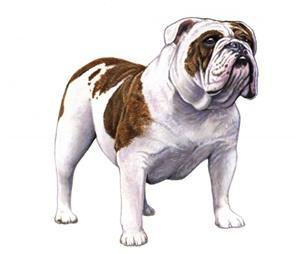 bulldog set
