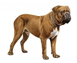 dogue de bordeaux set