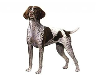 german shorthaired pointer set