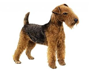lakeland terrier set