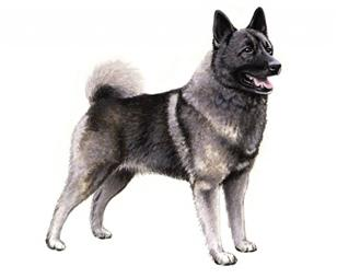 norwegian elkhound set