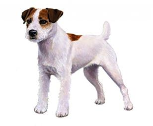 parson russell terrier set