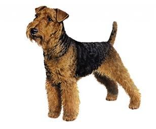 welsh terrier set
