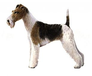 wire fox terrier set