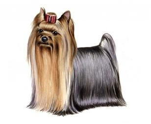 yorkshire terrier set