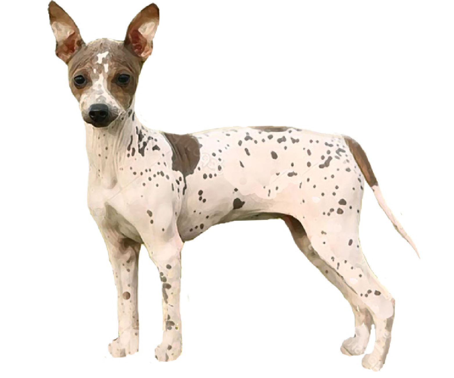 American Hairless (Rat) Terrier set