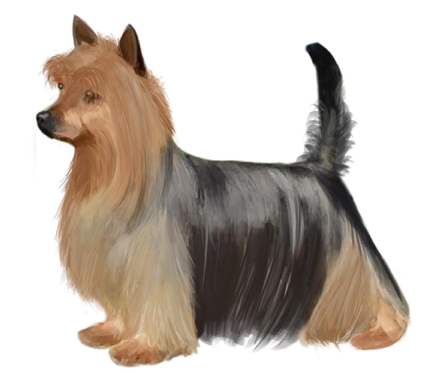 Australian Silky Terrier set