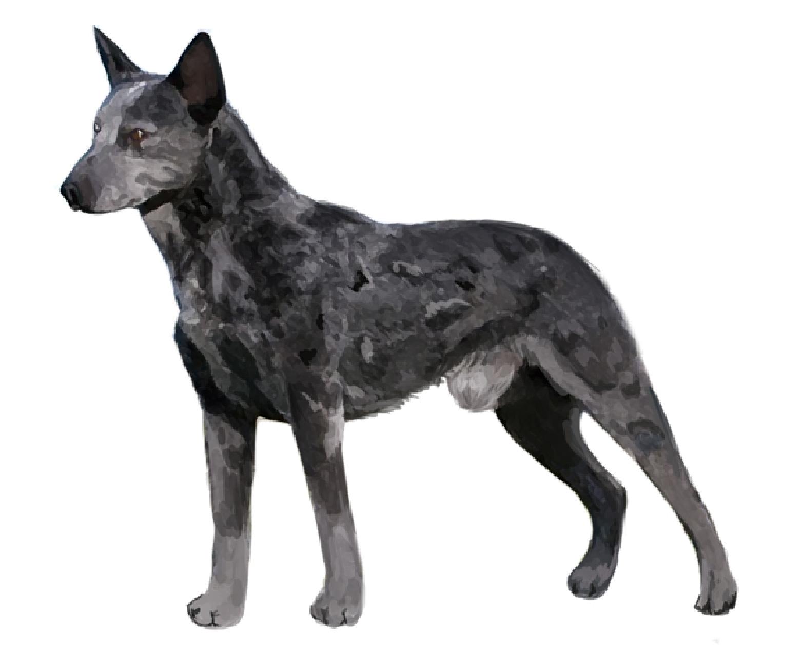 Australian Stumpy Tail Cattle Dog sa