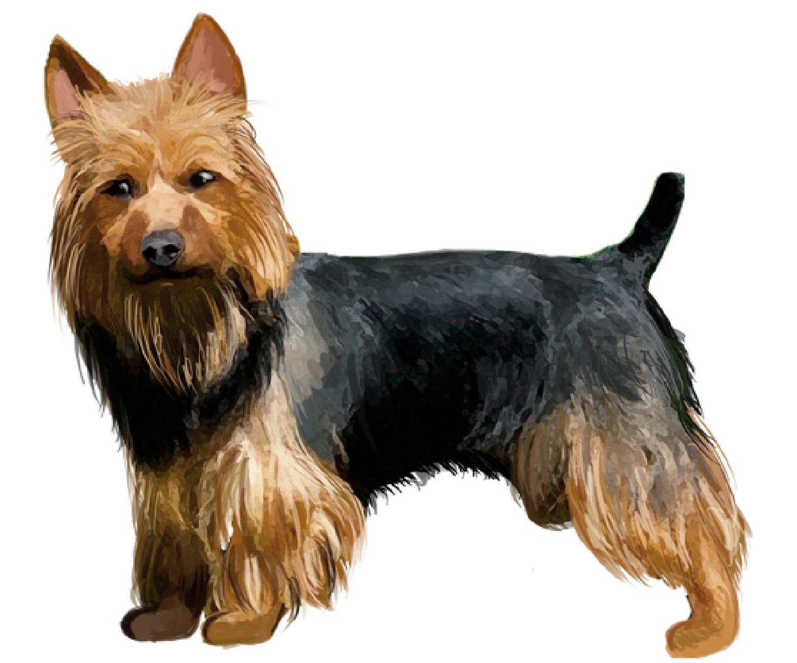 Australian Terrier set