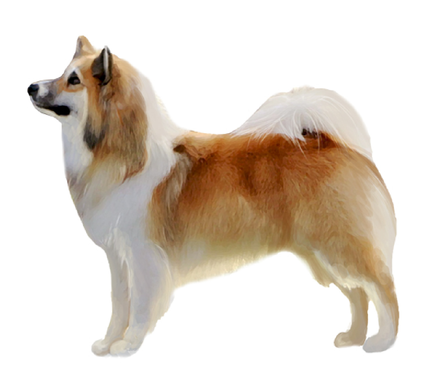 Icelandic Sheepdog set