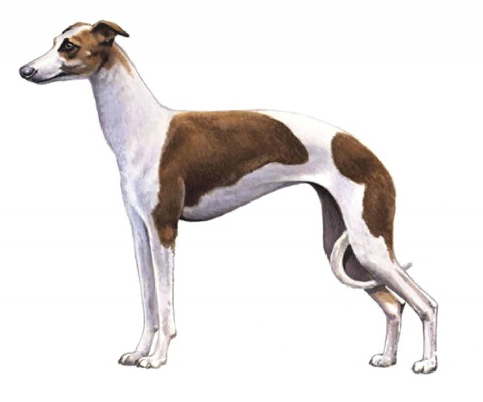 Italian Greyhound set