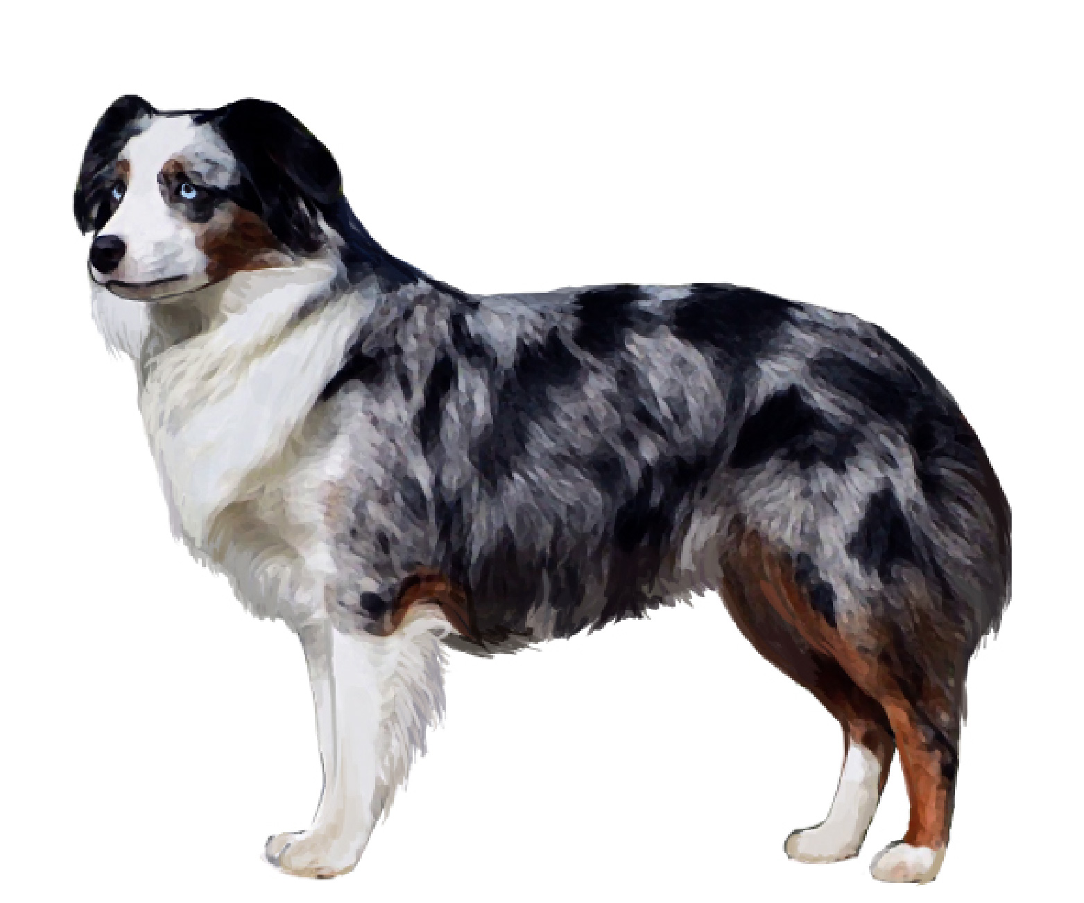 Miniature American Shepherd set