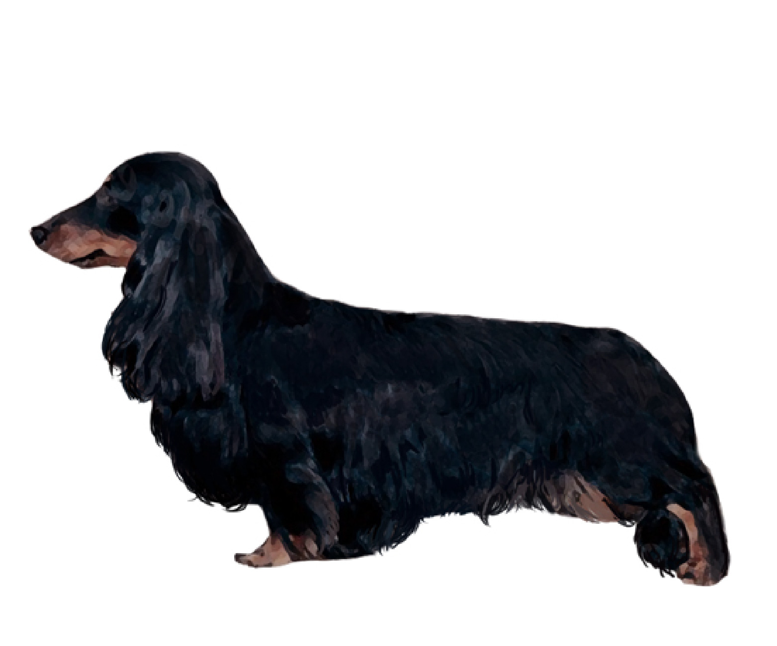 Dachshund Standard Long Hair