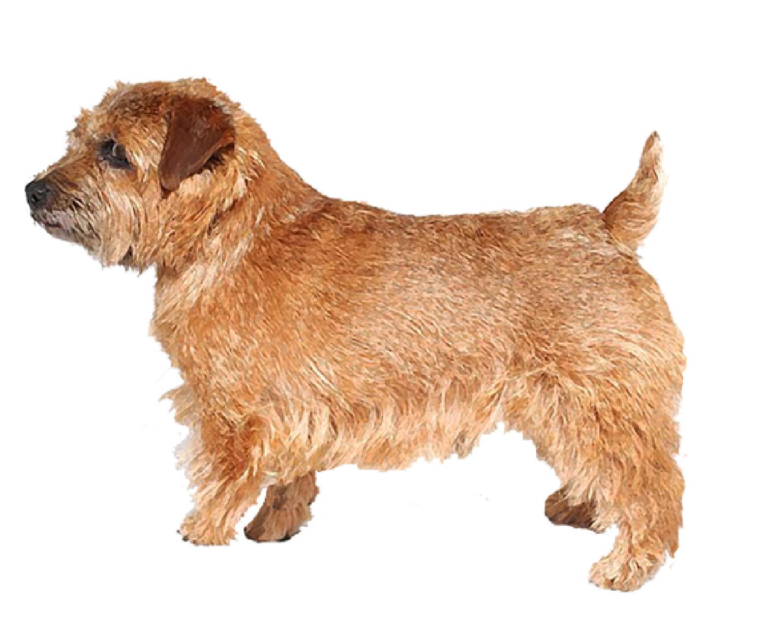 Norfolk Terrier set