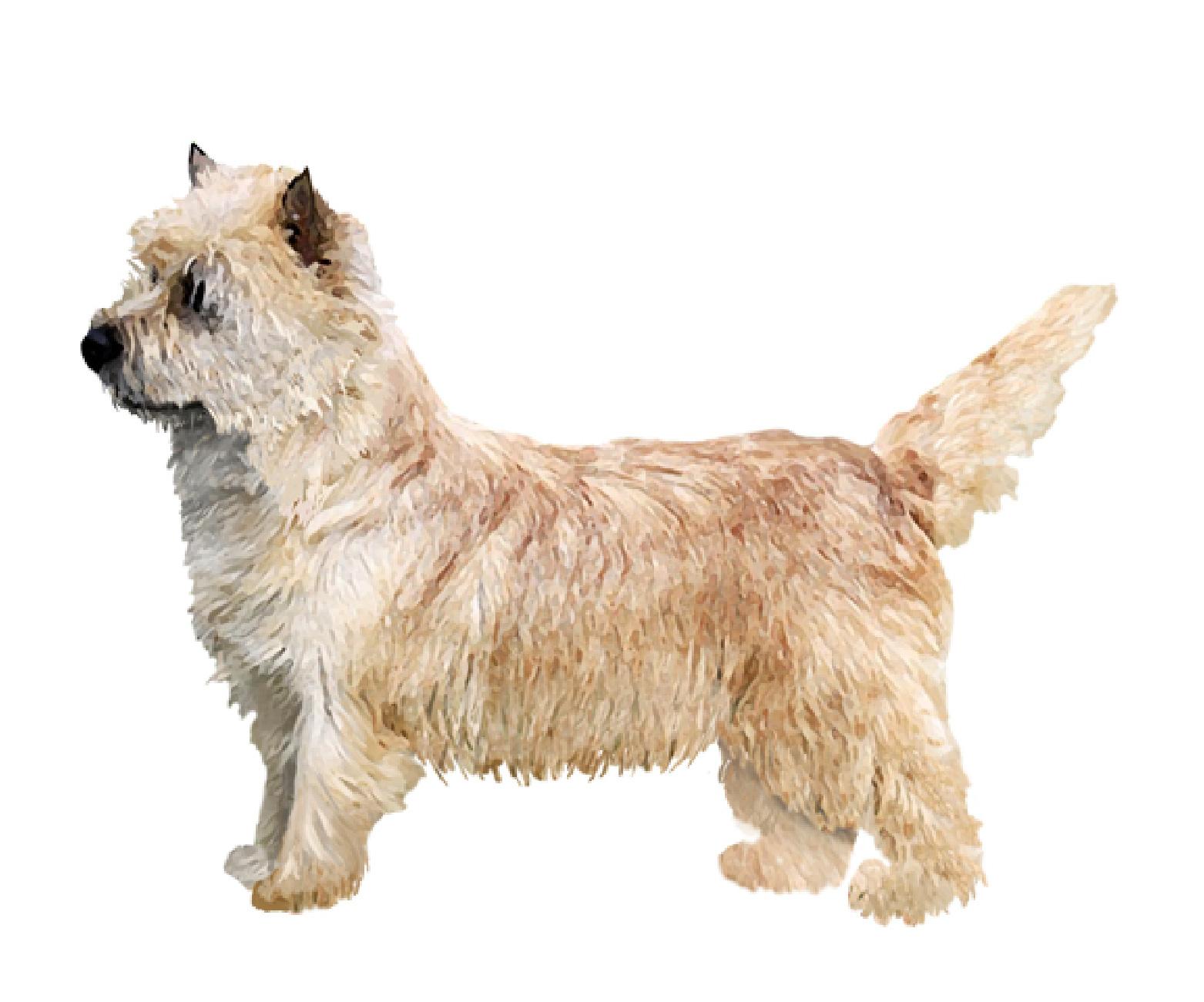 Norwich Terrier set