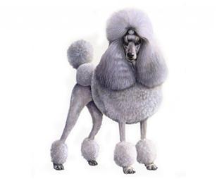 Poodle Toy sa