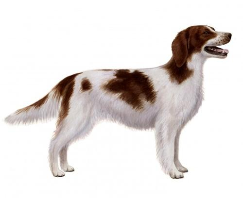 Red and white setter sa