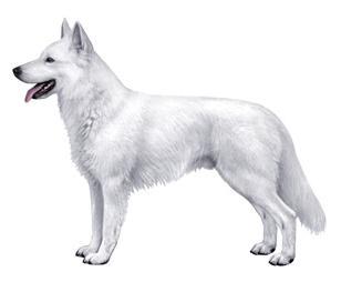 White Swiss Shepherd sa