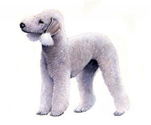 Bedlington terrier sa
