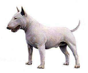 Bull terrier sa