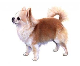 Chihuahua sa