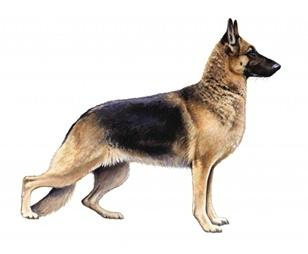 German shepherd sa